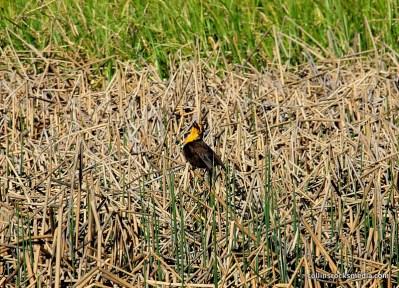 Yellow Faced Black Bird
