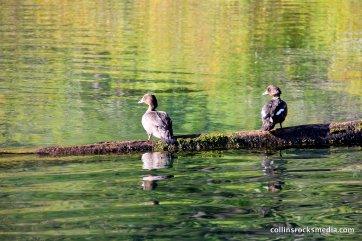 Brown Headed Ducks