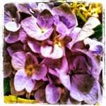 Day 7: Garden. Hydrangeas from my mom's garden.
