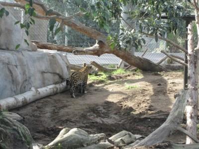 sandiegozoo-jaguar-21413
