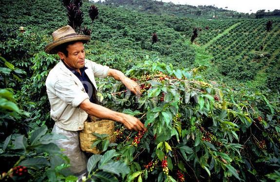 Colombiaanse koffieboeren vragen om overheidssteun vanwege daling koffieprijzen