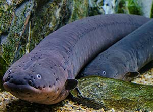 anguila-electrica