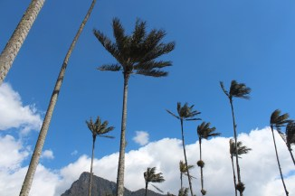 Wax Palms, Colombia's national tree, of the Cocora Valley