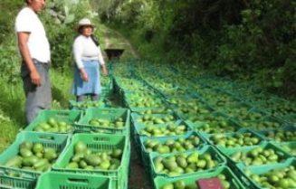 aguacate-colombiano-salva-la-caida-de-las-exportaciones-e1436449009672
