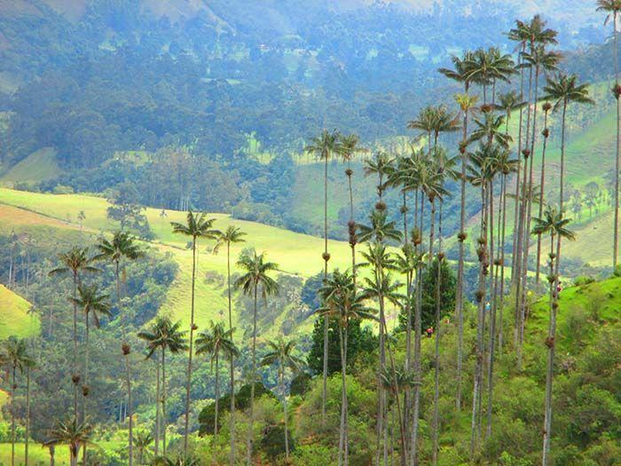 Cavalcade Valle de Cocora-Wax palms