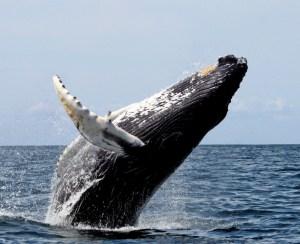 Whale Yubarta - Nuqui Choco - Colombian Pacific - Tourist Plans - ColombiaTours