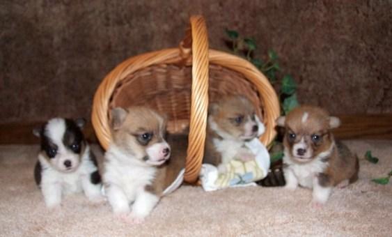 corgis pups