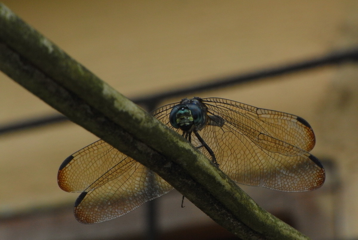 Dragonfly 1200 x 803 pixels