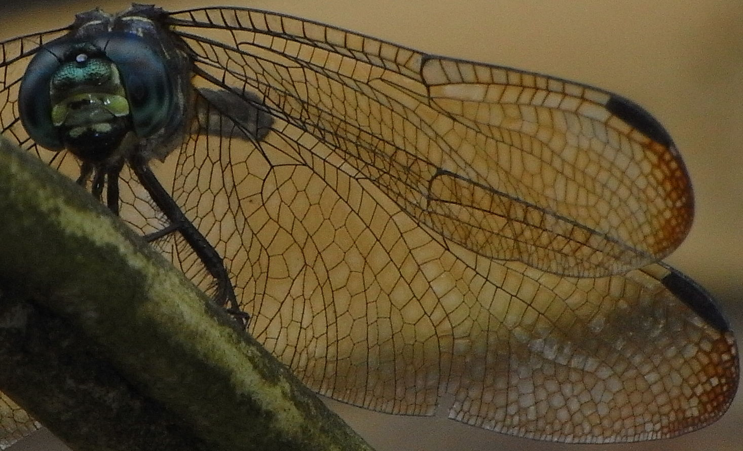 The wing of a Dragonfly