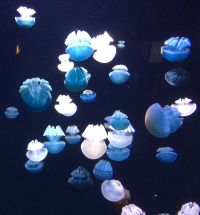 Blue Blubber Jellyfish - Field Research