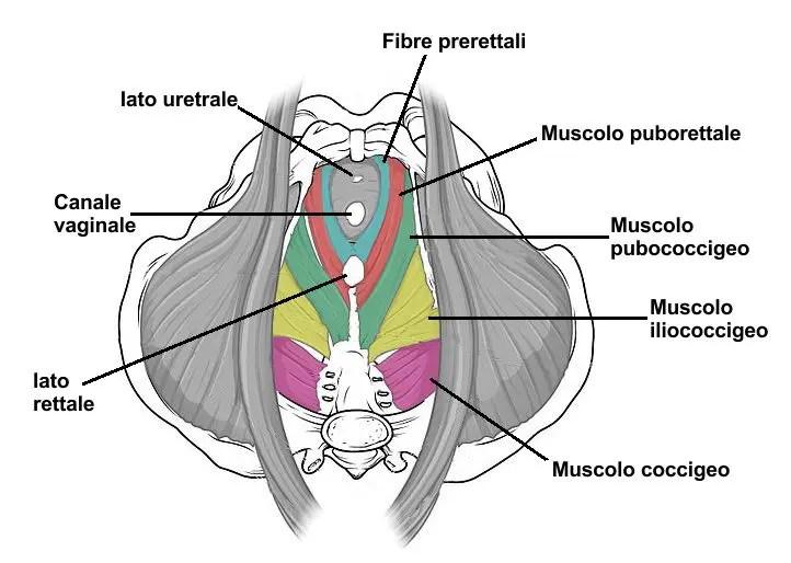 incontinenza urinaria e diastasi dei retti, muscoli del pavimento pelvico