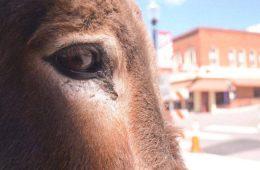donkey derby days