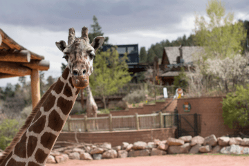 oldest giraffe in north america