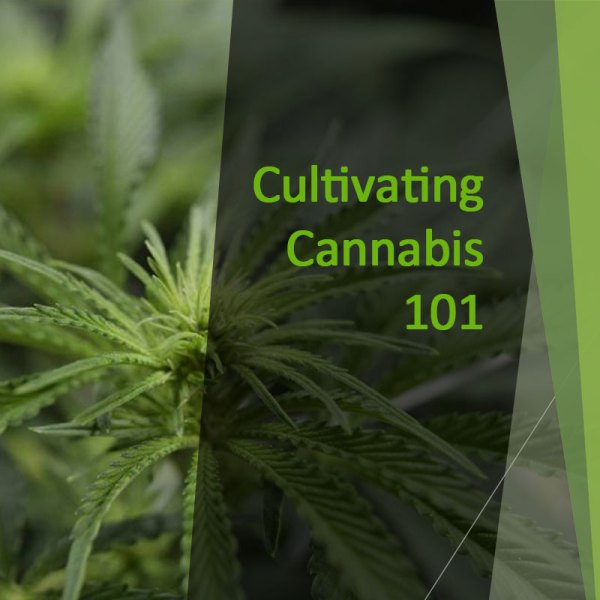 Cultivating Cannabis 101