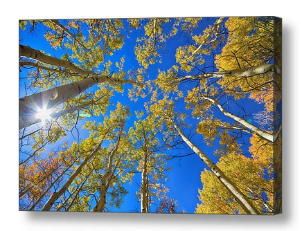 Colorado Autumn Aspen Tree Magic Canvas-Art-Print