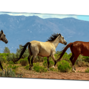 Grey, White And Chestnut Wild Horses Panorama View 32″x48″x1.25″ Premium Canvas Gallery Wrap