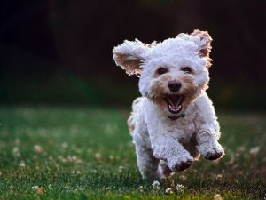 A white puppy running on the grass