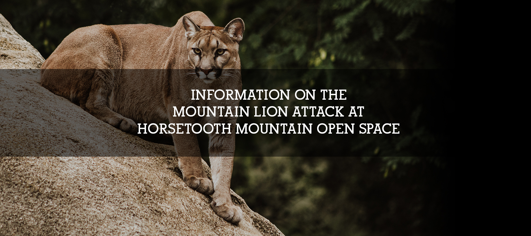 Mountain Lion Attack in Colorado