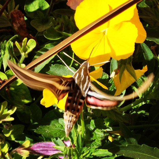 Delicate aerial maneuvers by this moth to get at the good stuff (nectar) are represented by the twisted wings.