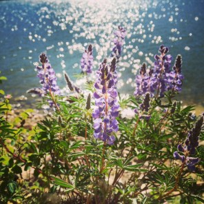 Lupines growing along Dillon Reservoir gleam in mid-morning sunlight.