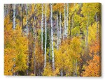 Aspen Tree Magic Canvas Print