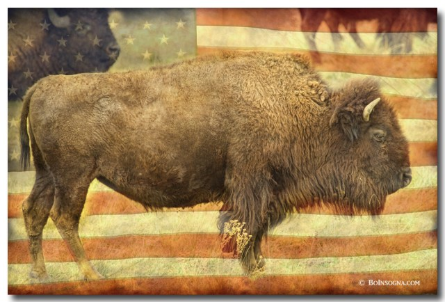American Buffalo fine art prints
