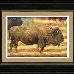 American Buffalo Framed Print