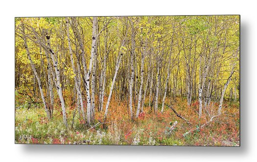 Colorful Aspen Tree Forest Bed Panorama View Metal Art Print
