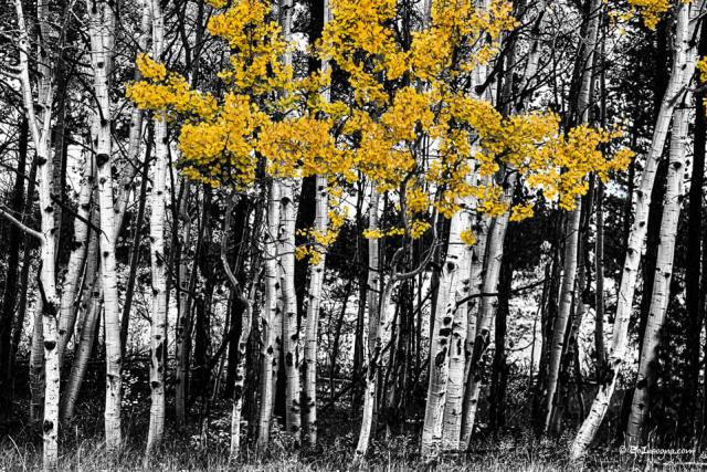 Aspen Touch of Color fine Art Print