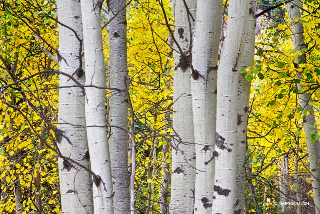 olorful Autumn Aspen Tree Colonies