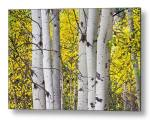 Colorful Autumn Aspen Tree Colonies Metal Print