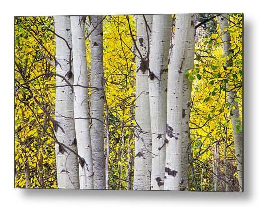 Colorful Autumn Aspen Tree Colonies Metal Print