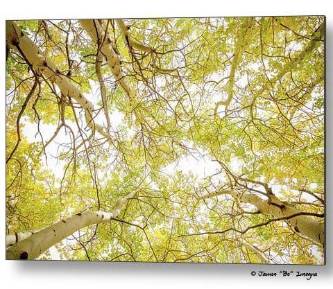 Golden Aspen Forest Canopy Metal Print
