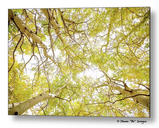 Golden Aspen Forest Canopy Metal Wall Art Print