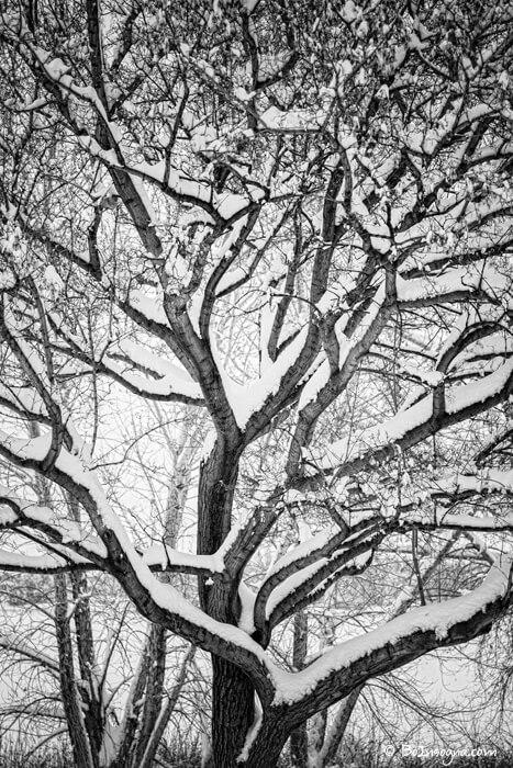 Snowy Trees Winter Intertwine Art Prints