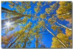 Autumn Aspen Magic
