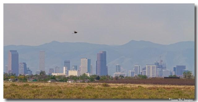 Denver Colorado Pretty Bird Fly By Art Prints