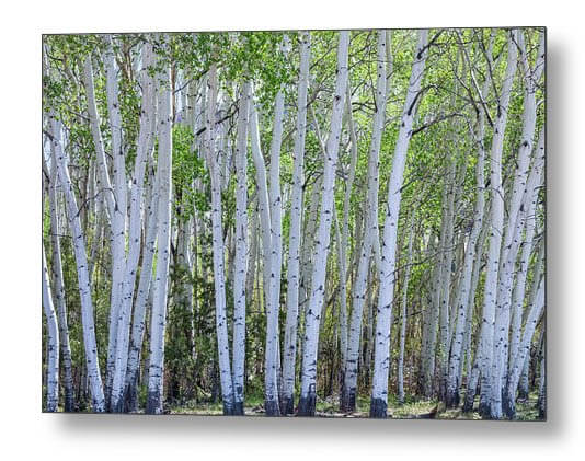 White Colorado Forest