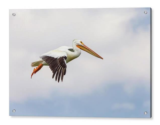 American White Pelican Cruising Acrylic Print