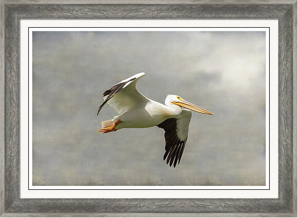 American White Pelicans Prints