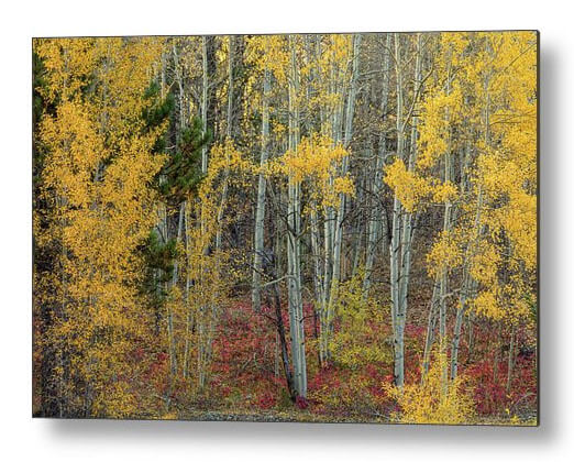 Colorful Aspen Forest With Red Ground Cover Metal Prints