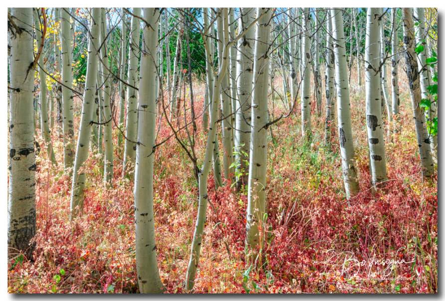 Aspen Tree Trunks And Burning Reds Art Print