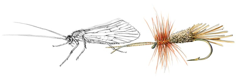 Goddard Caddis illustration. COPYRIGHT MARJORIE LEGGITT
