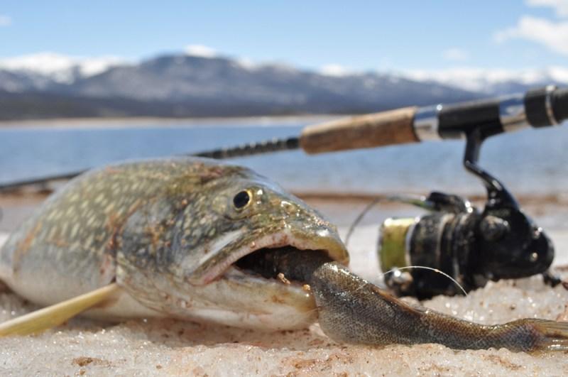 Lake trout caught on sucker minnow