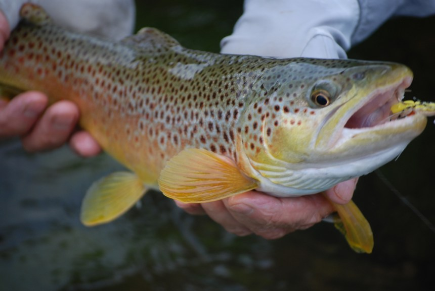 Gunnison River brown trout