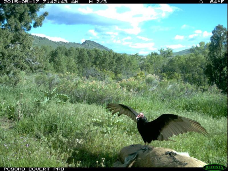 A turkey vulture feeds on a deer carcass.