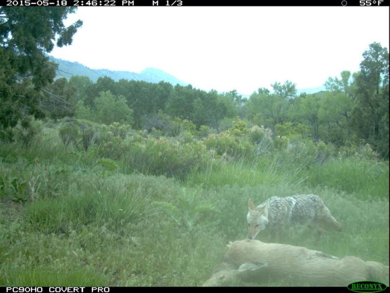 A coyote feeds on a deer carcass near Lakewood, CO.