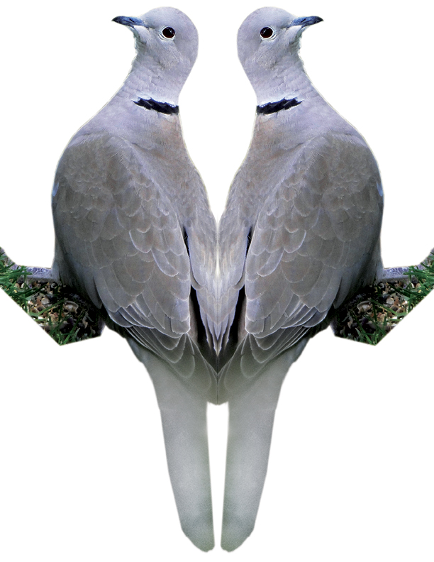 Eurasian-collared Dove Image 2
