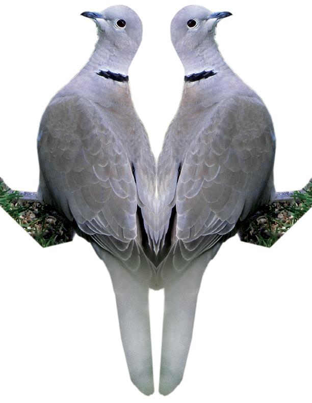 Eurasian-collared Dove Image 2