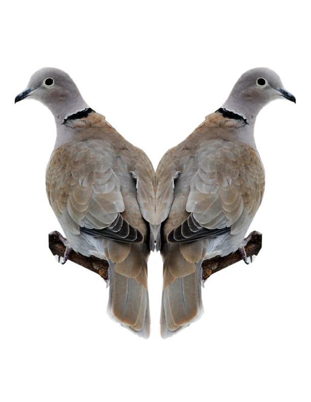 Eurasian-collared Dove Image 1